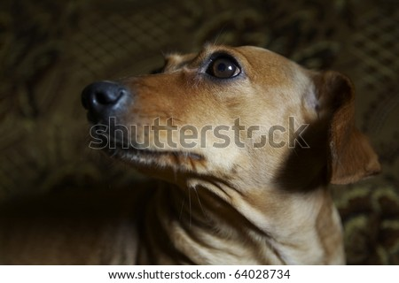 Mixed breed dog by dachshud and pinscher lying on sofa.