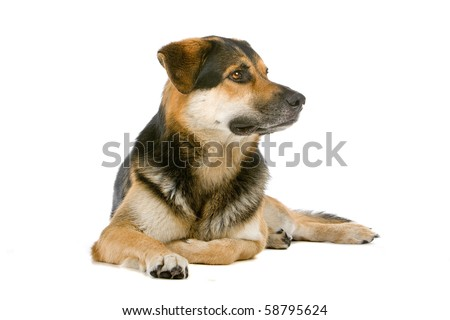 mixed breed dog ( husky,rottweiler, shepherd) isolated on a white background - stock photo