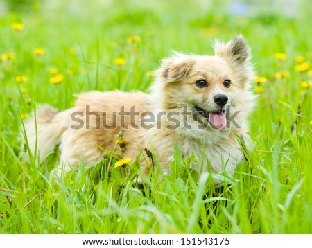 mixed breed dog in flower field of yellow dandelions - stock photo