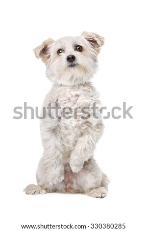 Mixed breed dog in front of a white background sitting on back paws