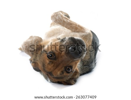 Mixed-Breed Dog in front of white background - stock photo