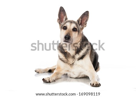Mixed breed dog isolated on white - stock photo