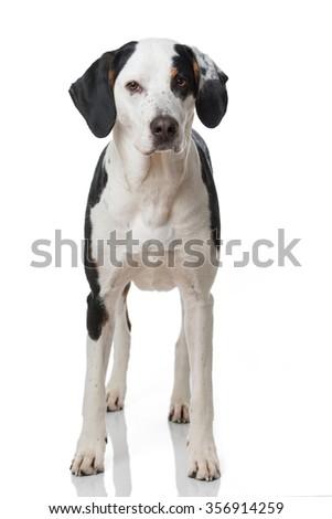 Mixed breed dog isolated on white - stock photo