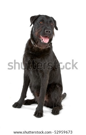 mixed breed dog (labrador/Bouvier des Flandres)on a white background - stock photo
