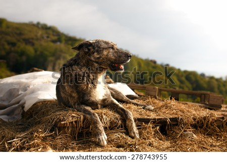 Mixed Breed Dog Lies Outdoor on Mountain Background - stock photo