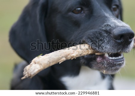 Mixed-breed dog Lisa plays with a stick. - stock photo