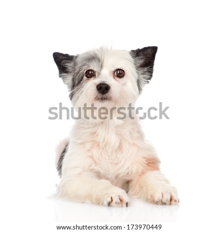 mixed breed dog looking at camera. isolated on white background - stock photo