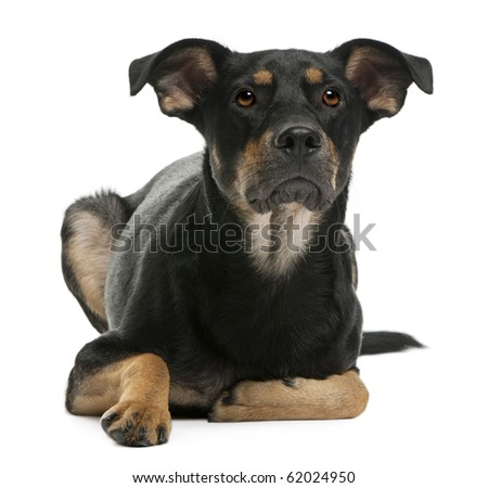 Mixed-breed dog, 12 months old, lying in front of white background - stock photo