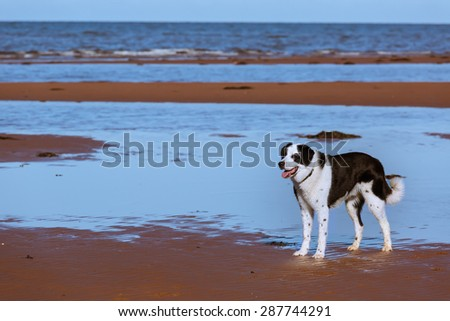 Mixed breed dog on a northern beach. - stock photo