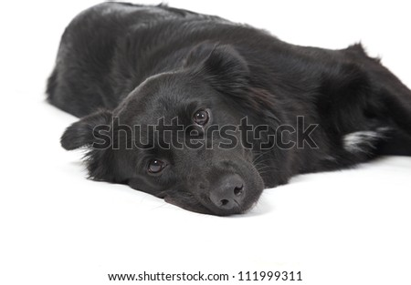 Mixed -breed dog resting, cute dog