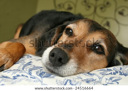 mixed breed dog resting on blue and white floral comforter - stock photo