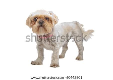 mixed breed dog (shih tzu, pekingese) isolated on white - stock photo
