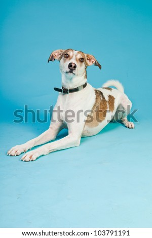 Mixed breed dog short hair brown and white isolated on light blue background. Studio shot. - stock photo