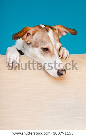 Mixed breed dog short hair brown and white looking curious over back of chair isolated on light blue background. Studio shot. - stock photo