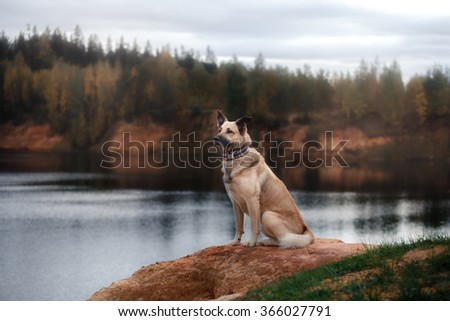 Mixed breed dog  walks in the woods, the lake, on the sandy shore - stock photo