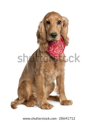 Mixed-Breed Dog with a cocker in front of a white background