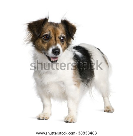 Mixed-breed dog with a Jack Russell Terrier, 8 years old, in front of white background