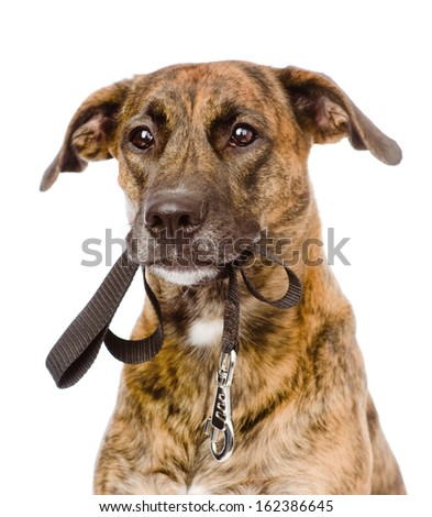 mixed breed dog with a leash in his mouth. isolated on white background - stock photo