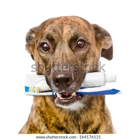 mixed breed dog with a toothbrush and toothpaste. isolated on white background - stock photo