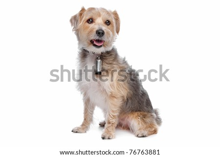mixed breed dog,yorkshire terrier,maltese