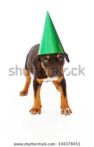 Mixed breed eight week old puppy isolated on white wearing a green party hat