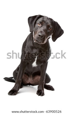 mixed breed lab cross - one year old isolated on white background - stock photo