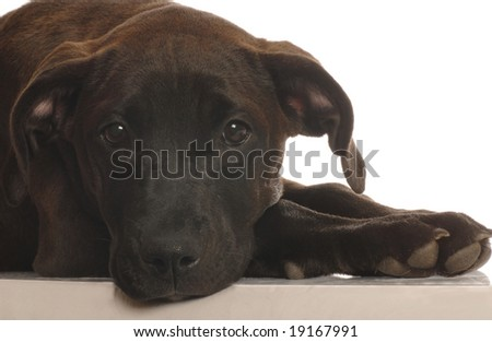 mixed breed lab cross puppy - four months old - isolated on white background - stock photo