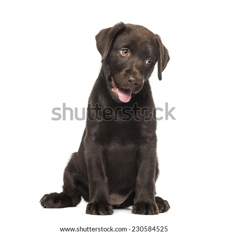Mixed-breed Labrador & Husky puppy (9 weeks old) - stock photo