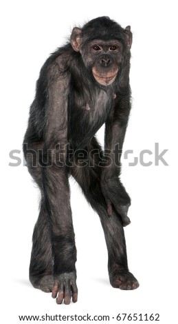 Mixed-Breed monkey between Chimpanzee and Bonobo, 8 years old, standing in front of white background - stock photo