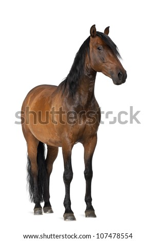 Mixed breed of Spanish and Arabian horse, 8 years old, portrait standing against white background