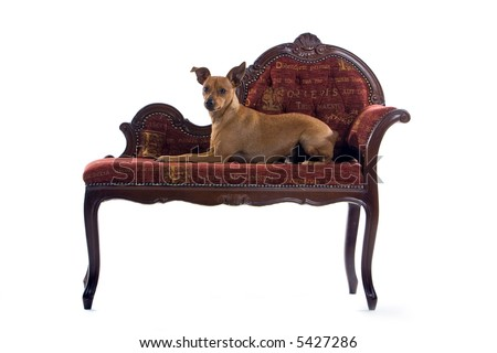 mixed breed Pinscher dog laying down on a red barok couch - stock photo