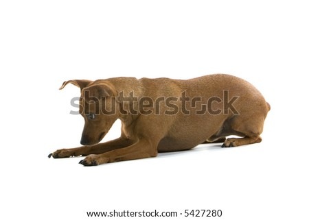 mixed breed Pinscher dog sniffing on the ground - stock photo