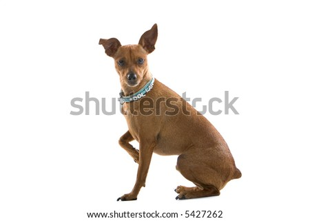 mixed breed Pinscher sitting down and looking into the camera - stock photo