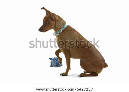 mixed breed Pinscher sitting down with its paw up - stock photo