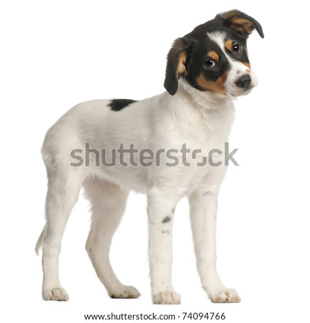 Mixed-breed puppy, 2 and a half months old, standing in front of white background