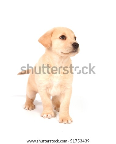 Mixed breed puppy looking up and begging on white background