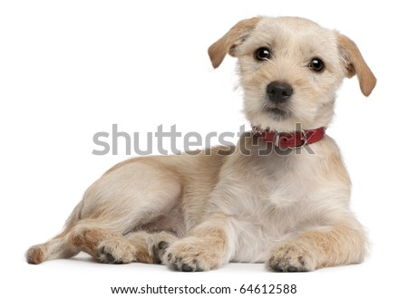 Mixed-breed puppy, 3 months old, lying in front of white background - stock photo