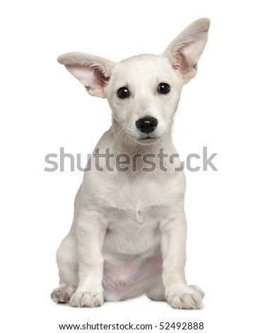 Mixed-breed puppy, 3 months old, sitting in front of white background - stock photo