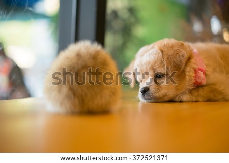 Mixed breed puppy, playing with a hedgehog on table. - stock photo