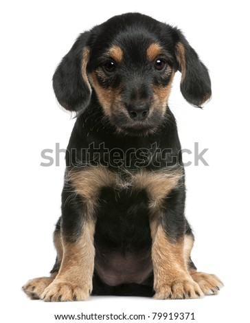 Mixed breed puppy sitting in front of white background - stock photo