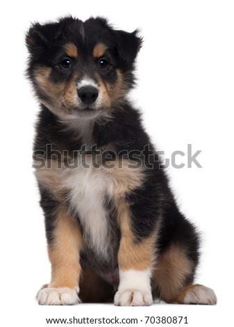 Mixed-breed puppy, 7 weeks old, sitting in front of white background - stock photo