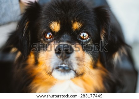 Mixed Breed Small Size Black And Brown Colors Dog Close Up Portrait - stock photo