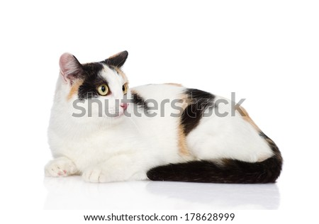 mixed breed tricolor cat looking away. isolated on white background