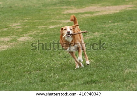 Mixed breed with a stick