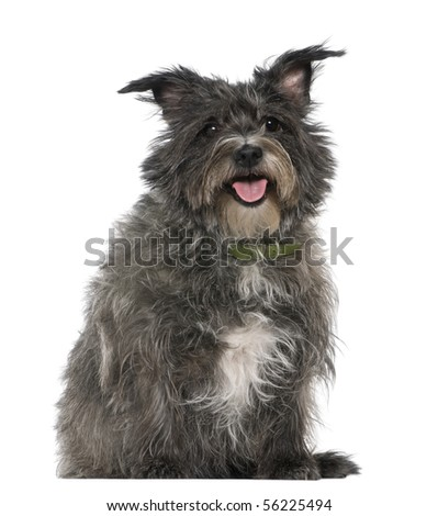 Mixed-breed, 8 years old, sitting in front of white background - stock photo