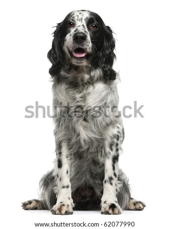Mixed-breed, 7 years old, sitting in front of white background - stock photo