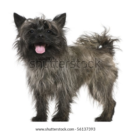 Mixed-breed, 3 years old, standing in front of white background - stock photo