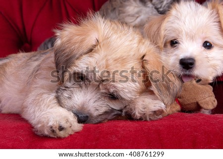 Mixed Breed Yorkshire Terrier Puppies