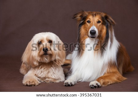 Mixed Cocker Spaniel and Rough Collie portrait  in studio