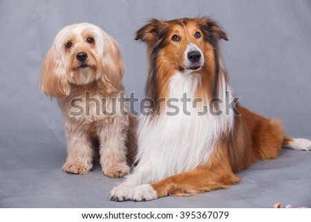 Mixed Cocker Spaniel and Rough Collie portrait  in studio - stock photo